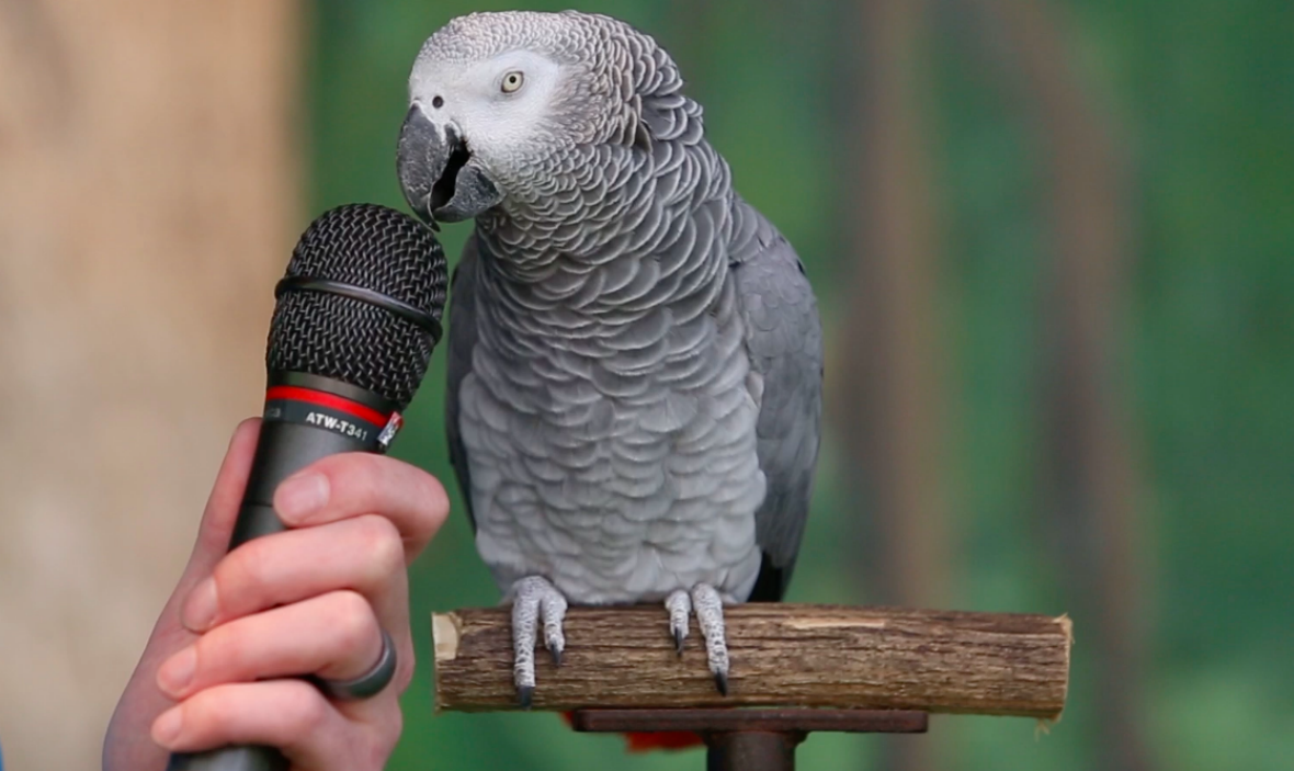 how much is a talking parrot